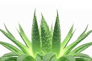aloe-vera-example-300x200 Aloe Vera benefici controindicazioni