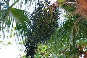 pianta-di-acai-berry-2-300x200 Acai Berry proprieta effetti