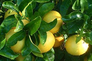 pianta-di-pompelmo-300x200 Pompelmo benefici proprieta dimagranti