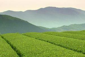 piantagione-the-verde-300x200 The Verde proprieta benefici dimagrire