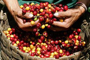 raccoglitori-di-caffe-300x200 Caffe Verde proprieta benefici controindicazioni