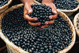 raccolto-acai-berry-2-300x202 Acai Berry proprieta effetti