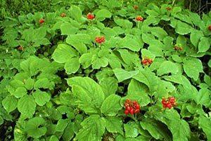 ginseng-pianta-300x200 Ginseng proprieta effetti controindicazioni