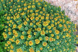 rodiola-pianta-300x200 Rodiola proprieta effetti controindicazioni