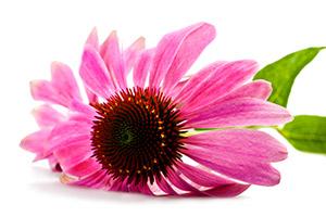 echinacea Echinacea proprietà controindicazioni
