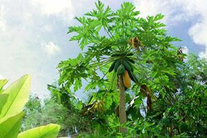 papaja-pianta-1 Papaya proprietà benefici controindicazioni