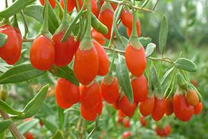 pianta-bacche-di-goji Bacche di Goji proprietà benefici controindicazioni