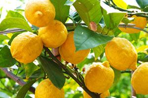pianta-di-limone Limone proprietà benefici dimagrante