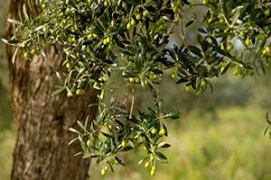 pianta-di-olivo Olio extravergine di oliva proprieta caratteristiche