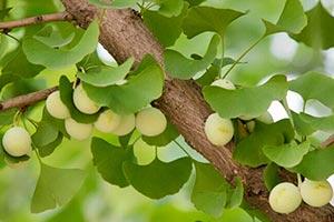 pianta-ginkgo-biloba Ginkgo Biloba benefici uso controindicazioni