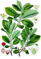 Disegno-di-pianta-Yerba-Mate Yerba Mate proprieta dimagranti effetti