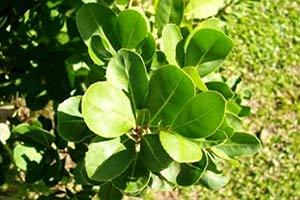 foglie-erba-mate Yerba Mate proprieta dimagranti effetti